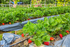 Fresh organic strawberries growing Royalty Free Stock Photography