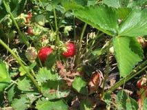 Strawberries on a bush Stock Photos