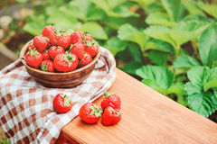 Fresh organic strawberries in plate with garden bed on background Stock Photos