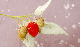 Fresh organic strawberry Stock Photography