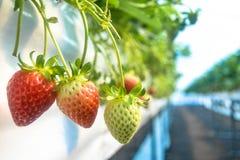 Fresh organic strawberry Royalty Free Stock Photos