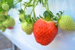 Fresh organic strawberry Stock Photos