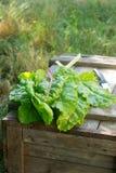 Fresh Organic Sweet Chard stock image