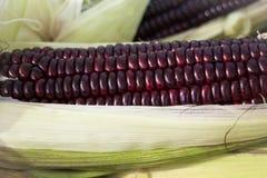 Fresh organic sweet purple corn Royalty Free Stock Image