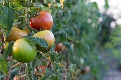 Fresh Organic Tomato in the garden stock photography