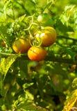 Fresh organic tomatoes Stock Photography