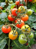 Fresh tomatoes on the vine royalty free stock image