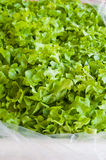 Fresh Organic Touch Lettuce Vegetables Royalty Free Stock Photo