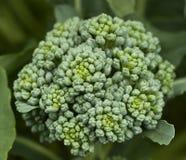 Fresh organic vegetable broccoli homegrown. Flower head of fresh organic broccoli homegrown vegetable in garden stock image