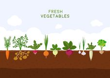 Fresh organic vegetable garden on blue sky background. Garden with different kind root veggies. Set vegetables plant. Growing underground: carrot, onion stock illustration