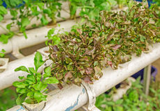 Fresh organic vegetable in hydroponic vegetable field. Stock Photo