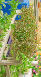 Fresh organic vegetable in hydroponic vegetable field. Stock Photography