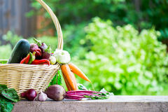 Fresh Organic Vegetables in basket. Autumn Harvest Concept Royalty Free Stock Photos