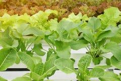 Organic Vegetables in Hydroponic Farm. Fresh Organic Vegetables in Hydroponic Farm royalty free stock image