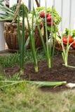 Fresh organic vegetables in wicker basket. Vegetable-garden-organic Royalty Free Stock Photo