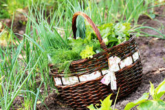 Fresh organic vegetalbles-lettuce,leek, dill,beetroot in a basket placed near a vegetable patch Royalty Free Stock Photography