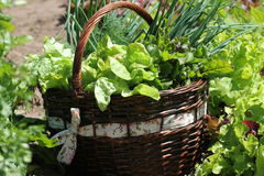 Fresh organic vegetalbles-lettuce,leek, dill,beetroot in a basket placed near a vegetable patch Royalty Free Stock Image