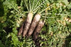 Fresh organic white radish. With soil in farm Royalty Free Stock Images