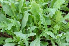 Fresh organic Wild Rocket Salad. Closeup photo of Fresh organic Wild Rocket Salad in the garden Stock Image