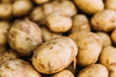 Fresh Organic Young Raw Potatoes For Selling At Stock Photo