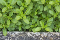 Fresh origanum herb Stock Image