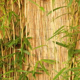 Fresh ornamental bamboo with a bamboo fence Stock Photo