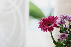 Fresh ornamental Gerbera daisy Stock Photos