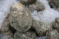 Fresh oyster on ice. For sell in the market Royalty Free Stock Photos