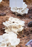 Fresh oyster mushrooms for display Royalty Free Stock Photography