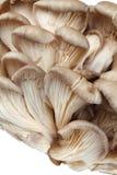 Fresh oyster mushrooms Stock Photo