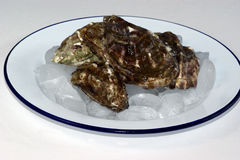 Fresh oyster on a plate with ice Royalty Free Stock Photography