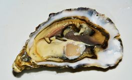 Fresh oyster on white background stock photography