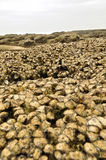 Fresh oysters. Rocks full of fresh unharvested oysters in the wild royalty free stock photography