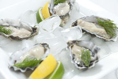Fresh oysters. Fresh river oysters on ice with dill and lemon Stock Images