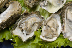 Fresh oysters. Ready open oysters in restaurant Stock Photos