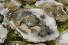 Fresh oysters. Ready open oysters in restaurant Royalty Free Stock Photo