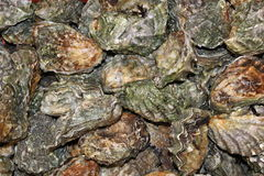 Fresh oysters. A lot fresh oysters for sale Royalty Free Stock Images