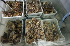Fresh oysters in boxes of water on the market.  Stock Photos