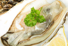 Fresh Oysters close-up. As a background Royalty Free Stock Photo