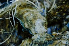 Fresh oysters close - up on display in the fish department royalty free stock images