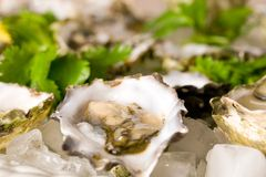 Fresh oysters on the half shell stock image