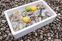 Fresh oysters on ice Royalty Free Stock Photos