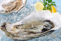 Fresh Oysters on Ice. Closeup of open fresh oysters on ice garnished with lemon, and parsley over light blue background Stock Image