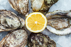 Fresh oysters on ice with lemon. Close up Royalty Free Stock Images
