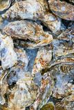 Fresh oysters on ice for sale in Kuromon Ichiba Market Royalty Free Stock Image