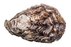 Fresh oysters isolated on white background. With clipping path Stock Photography