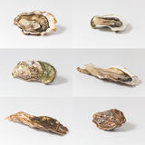 Fresh oysters. Set fresh oysters on white background Royalty Free Stock Images