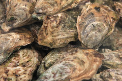 Fresh oysters in shells Stock Photos