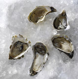 Fresh oysters traditional. Wedding breakfast Royalty Free Stock Image