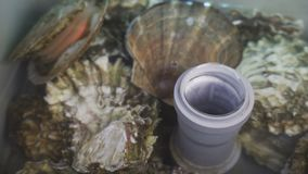 Fresh oysters in water at fish market. Various oyster in one place from different countries stock video